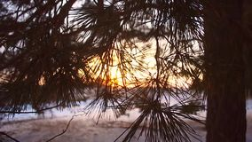 Winter forest, snowflakes sparkle in sun sun shines on branches of a coniferous tree, close up, snow covered forest at. Sunset stock video footage