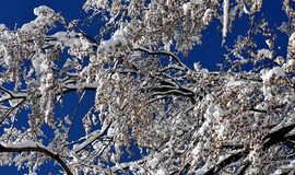 Winter forest. Snowy beech branches in the blue sky royalty free stock photo