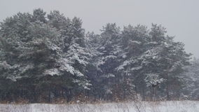 Winter Forest with Snowy Christmas Tree stock footage