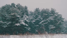 Winter Forest with Snowy Christmas Tree. Winter forest with snowy tree. Snow falling and covered fir trees on a winter day. Winter background. Snow comes in the stock footage