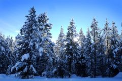 Winter Forest Snowy Pine Trees with Sunshine Blue Sky Royalty Free Stock Images