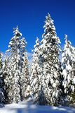 Winter Forest Snowy Pine Trees with Sunshine Blue Sky Stock Photos