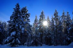 Winter Forest Snowy Pine Trees with Sunshine Blue Sky Stock Images