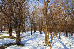 Winter forest in the snowy sunny weather Royalty Free Stock Photos
