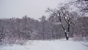Winter Forest with Snowy Tree stock video footage