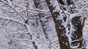 Winter Forest with Snowy Tree. Snow falling and covered fir trees on a winter day. Winter background. Snow comes in the Christmas forest stock footage