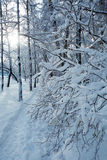 Winter Forest with Snowy Trees Royalty Free Stock Photos