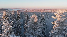 Winter forest with snowy trees in sunset stock footage