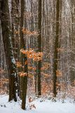 Winter forest with some fall foliage in snow. Beautiful nature background royalty free stock image