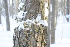 Winter forest. Spruce. On the bark of a tree, the snow crust. The silence of the forest Royalty Free Stock Images