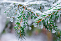 Winter Forest, spruce branches covered with snow. Royalty Free Stock Photos