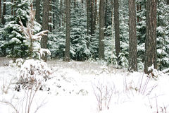 Winter forest with spruce covered snow. Frozen forest with snow. Winter beautiful forest Stock Images