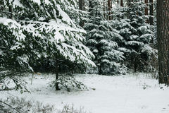 Winter forest with spruce covered snow. Frozen forest with snow. Winter beautiful forest Royalty Free Stock Photo