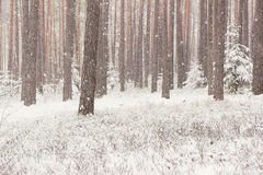 Winter forest with spruce covered snow. Frozen forest with snow. Winter beautiful forest Royalty Free Stock Image