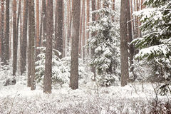 Winter forest with spruce covered snow. Frozen forest with snow. Winter beautiful forest Royalty Free Stock Photography