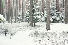 Winter forest with spruce covered snow. Frozen forest with snow. Winter beautiful forest Royalty Free Stock Images