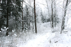Winter forest with spruce covered snow. Frozen forest with snow. Winter beautiful forest Royalty Free Stock Photos