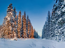 Winter Forest with spruces Stock Photo
