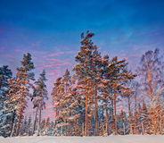 Winter Forest with spruces Royalty Free Stock Image
