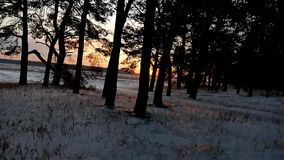 Winter forest and sun evening landscape. sun christmas tree beautiful winter forest snow a glare sunlight. Winter forest and sun evening landscape. sun christmas stock video footage