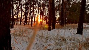 Winter forest and sun landscape. christmas tree beautiful winter forest snow sun a glare sunlight. Winter forest and sun landscape. christmas tree beautiful stock footage