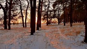 Winter forest and sun landscape. christmas tree beautiful winter forest sun snow a glare sunlight. Winter forest and sun landscape. christmas tree beautiful stock footage