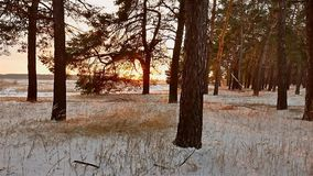 Winter forest and sun landscape. christmas tree beautiful winter sun forest snow a glare sunlight. Winter forest and sun landscape. christmas tree beautiful stock footage