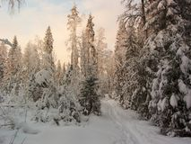 Winter forest. Sun rays. Ski-track Royalty Free Stock Images
