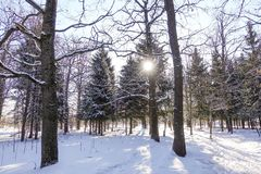 Winter forest. The sun shines between the trees covered with snow. Russia royalty free stock images