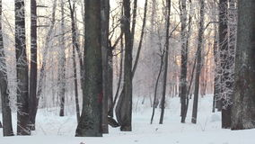 Winter forest and sun. Snowy scene in forest with sun shining through trees stock video footage