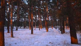 Winter forest in sun, wind swinging branches of spruce, snow in the forest stock video footage