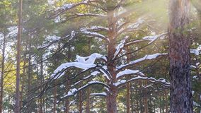 Winter Forest With Sunbeams Through The Pine Tree Snowy Brunches.  stock images
