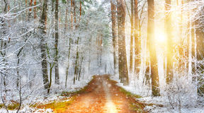 Winter forest. Sunlight in frozen winter forest Stock Images