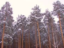 Winter forest. Sunlight in winter pipe forest Ural landscape stock photos