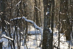 Winter forest. Stock Photography
