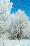 winter forest on sunny day Stock Photos