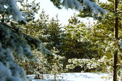 Through the winter forest at of sunny day Royalty Free Stock Images