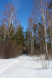 Winter forest in a sunny day Royalty Free Stock Images