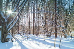 Winter forest at sunny day. Sun shine brightly through the trees royalty free stock photos