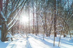 Winter forest at sunny day. Sun shine brightly through the trees royalty free stock photo