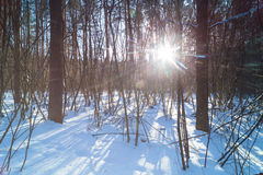 Winter forest at sunny day. Sun shine brightly through the trees stock photos
