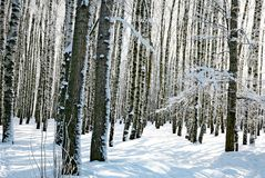 Winter forest in sunny day Royalty Free Stock Image