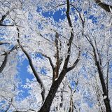 Winter forest on sunny day. Winter forest with falling snow, frozen trees covered with frost against of the blue sky on sunny day, Russia royalty free stock photos