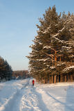 Winter forest. In sunny evening royalty free stock photo