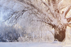 Winter forest sunny scene in early winter morning with winter soft sunlight. Winter landscape scene Stock Photography