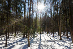Winter forest and sunny weather Royalty Free Stock Photo