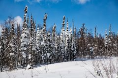 Winter forest in sunny weather against a blue sky stock image