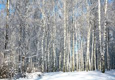 Winter forest in sunny weather Stock Photo