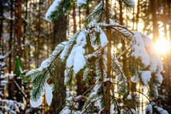 Winter forest in sunny weather Stock Image