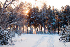 Winter forest at sunrise. Stock Photo